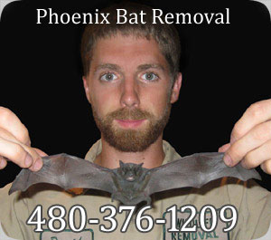 Phoenix Bat Removal Company Pest Control Of Bats In Arizona